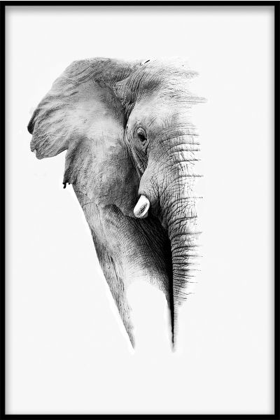 Elephant White Portrait Plakat