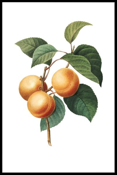Vintage Apricot Illustration Plakat