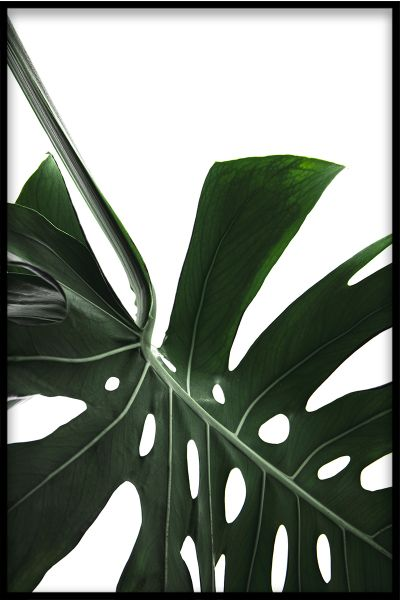 Monstera Close Up N02 Plakat