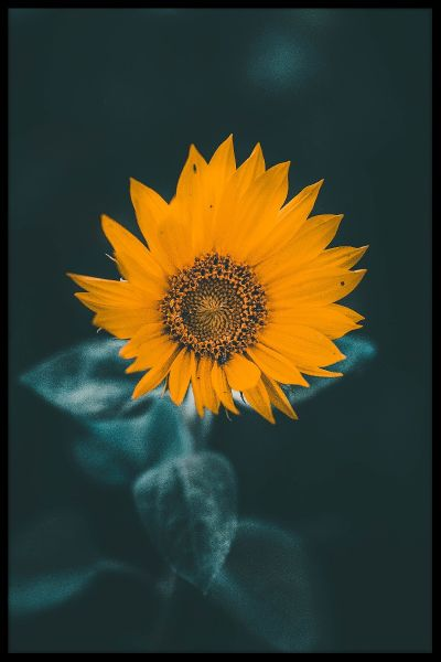 Misty Sunflower Plakat