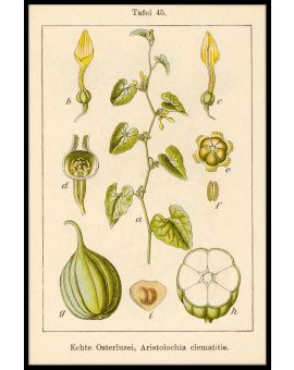 Antique Flower Illustration Birthwort Plakat