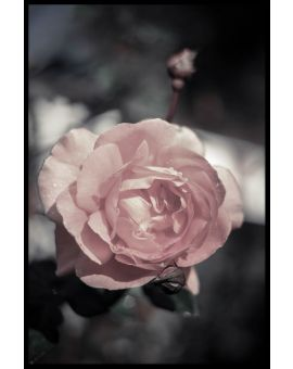 Peach Rose Plakat