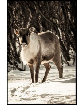 Reindeer in Snow Plakat