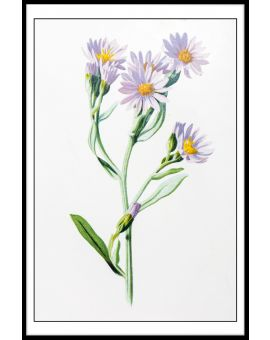 Starwort Illustration Plakat