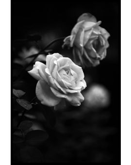 Black & White Roses Plakat